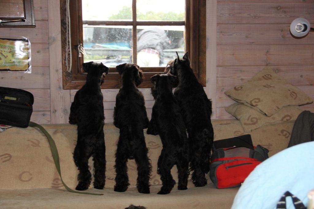 hundar i fönster