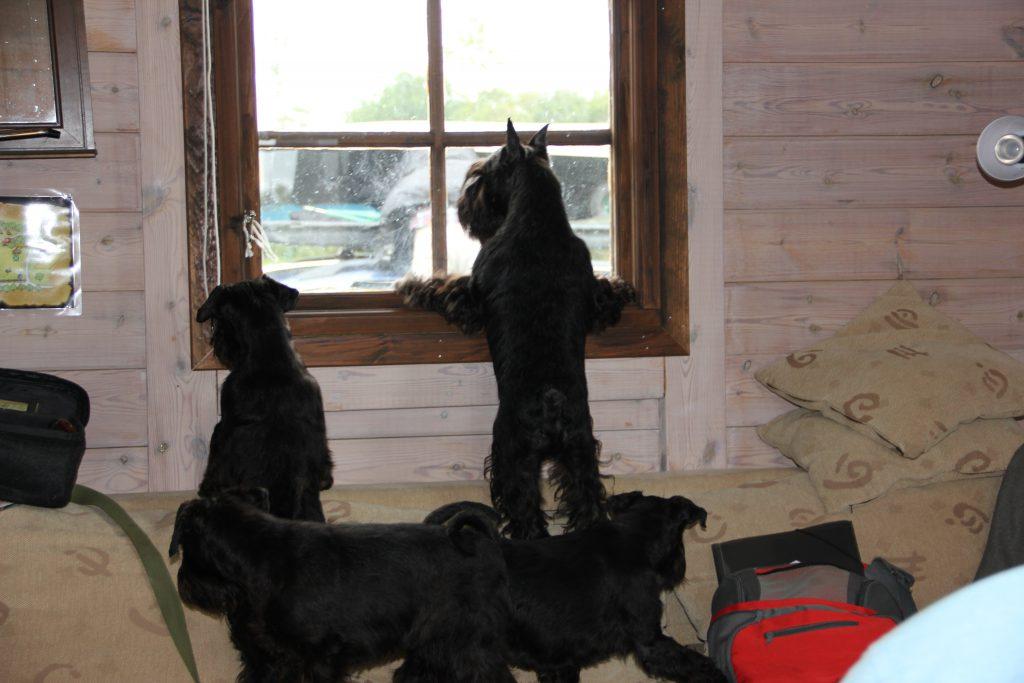 hundar i fönster vito